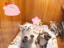 蔡甸本地的可以聯系我擼貓買貓喲隨便擼隨便玩