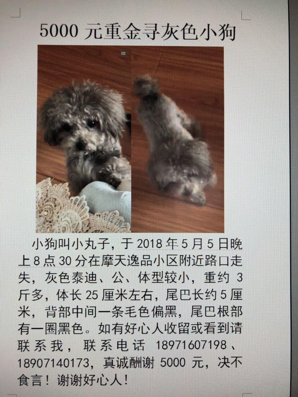 5000元寻走失灰色小狗